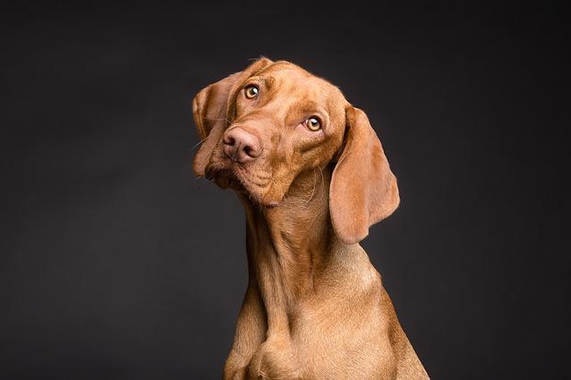hnědý pes